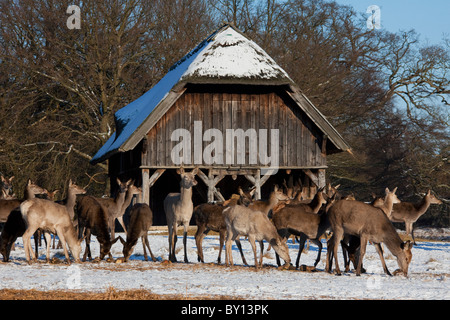 Red deer hinds (Cervus elaphus) feeding on supplemental food in manger in winter in the snow, Denmark - Stock Photo