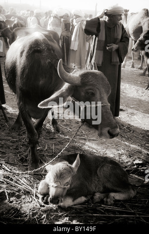 Black and white image of Water Buffalo and calf at the Camel Market near Luxor, Egypt - Stock Photo