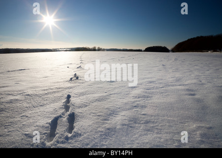 Hare tracks in snow - Stock Photo