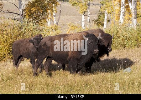 American Bison family - Stock Photo