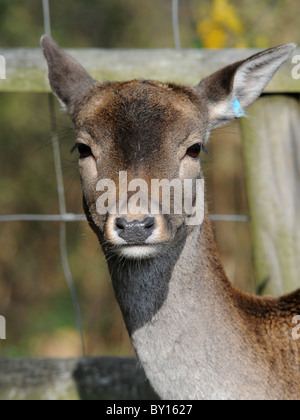 Wild deer in captivity with an ear tag. - Stock Photo