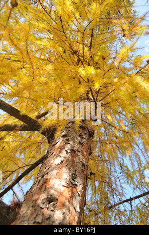 Larch-tree in autumn colours - Stock Photo