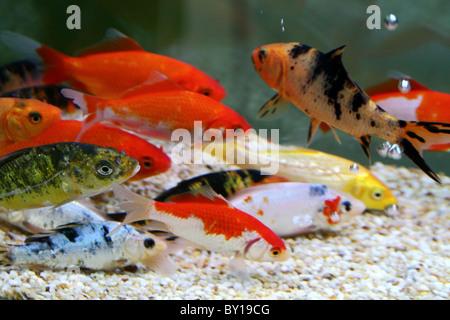 Colorful koi or carp chinese fish in water stock photo for Carpe koi aquarium