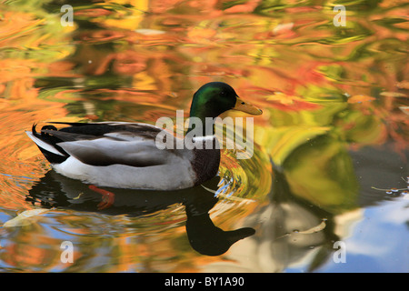 Mallard duck swimming in pond with fall colors reflected in the water floating in Lithia Park in Ashland, Oregon - Stock Photo