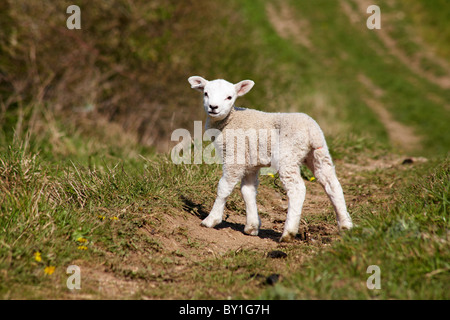 Baby lamb in field looking at Dorset, England UK - symbol of Easter Spring - Stock Photo