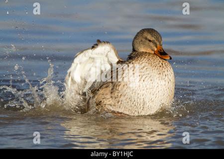 Mallard (Anas platyrhynchos), adult female, bathing on lake, Slimbridge, Gloucestershire, England, January - Stock Photo