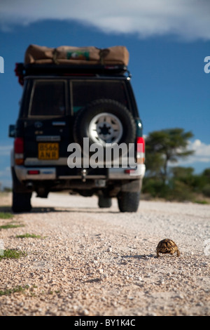 South Africa. A 4x4 speeds by as a slow-moving young Leopard Tortoise crosses the road. - Stock Photo