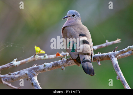 An Emerald-spotted Wood-Dove in Selous Game Reserve. - Stock Photo