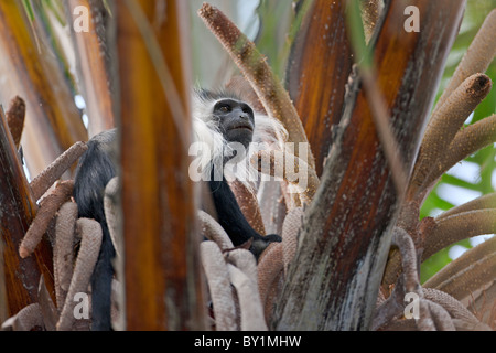 An Angola Pied Colobus feeding in a Raffia palm in Selous Game Reserve. - Stock Photo