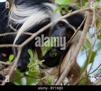 An Angola Pied Colobus feeding on leaves in Selous Game Reserve. - Stock Photo