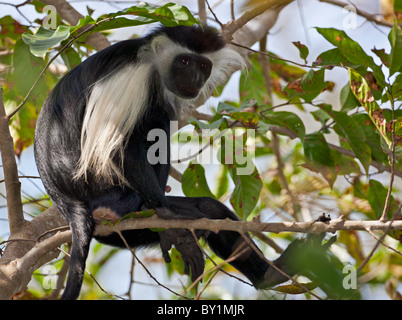 An Angola Pied Colobus in Selous Game Reserve. - Stock Photo