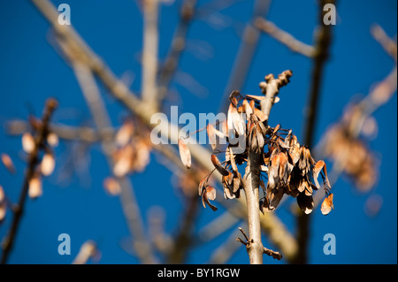 Clusters of keys on an Ash tree, Fraxinus excelsior, in winter - Stock Photo