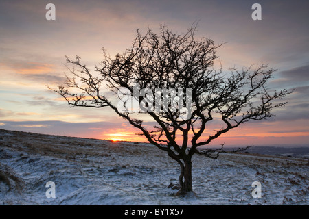 Lone hawthorn tree silhouetted against a dusky sunset sky in snow during Winter on Dartmoor - Stock Photo