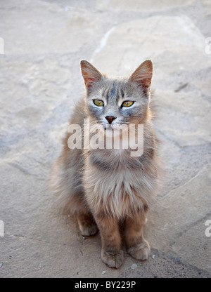 Beautiful wise old long-haired cat. - Stock Photo