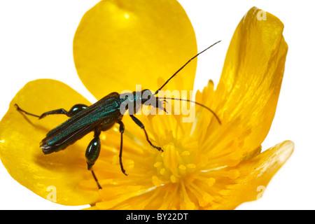Thick-legged Flower Beetle (Oedemera nobilis) feeding on a Buttercup flower. Powys, Wales.