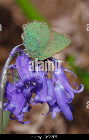 Green Hairstreak butterfly ( Callophrys rubi ) feding on a bluebell. Powys, Wales, UK. - Stock Photo