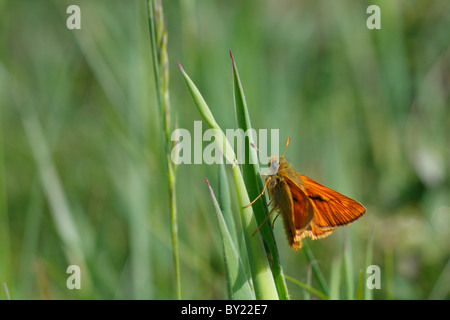 Large Skipper butterfly (Ochlodes venatus) on grass. Powys, Wales. - Stock Photo