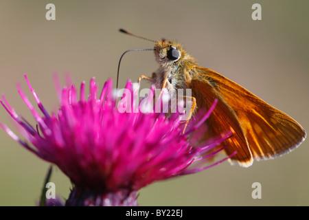 Large Skipper butterfly (Ochlodes venatus) feeding on a Mrsh Thistle flower. Powys, Wales. - Stock Photo