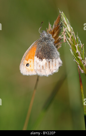 Small Heath Butterfly (Coenonympha pamphilus). Powys, Wales. - Stock Photo
