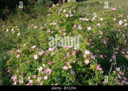 Dog Rose (Rosa canina agg.) flowering. Powys, Wales, UK. - Stock Photo