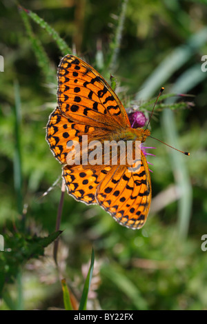 Male Dark Green Fritillary Butterfly (Argynnis aglaja) feeding on a Marsh Thistle. Powys, Wales, UK. - Stock Photo