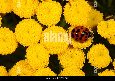 Harlequin Ladybird (Harmonia axyridis) on wild Tansy, introduced pest species. Powys, Wales. - Stock Photo