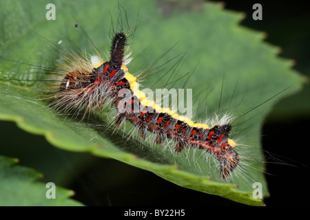 Larva of a Grey Dagger moth (Acronicta psi) on a rose leaf. Powys, Wales. - Stock Photo