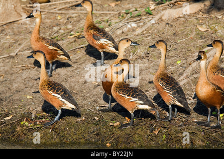 Australia, Northern Territory, Kakadu National Park, Cooinda.  Plumed whistling-ducks (Dendrocygna eytoni), also - Stock Photo