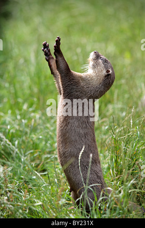 England, Cornwall, Tamar Otter & Wildlife Centre. Asian short-clawed otter begging for food. - Stock Photo
