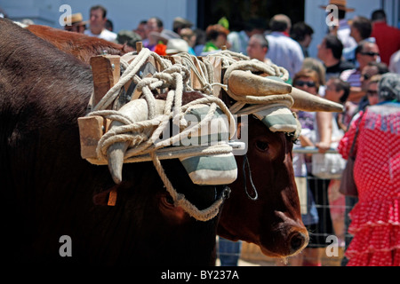 Close view of two bulls with their horns attached to each other by rope on a festivity parade. - Stock Photo