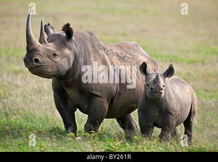 A female black rhino with her alert calf. Mweiga, Solio, Kenya - Stock Photo