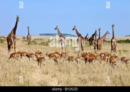 A herd of impala graze near Maasai giraffes on the plains of the Masai Mara National Reserve. - Stock Photo