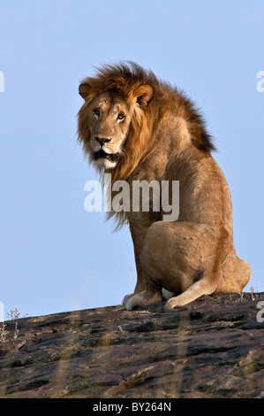 A magnificent lion sitting on a large boulder on the Mara Plains. Masai Mara National Reserve