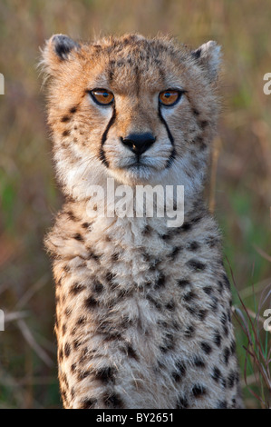 A young cheetah cub in early morning sunlight. Masai-Mara National Reserve - Stock Photo