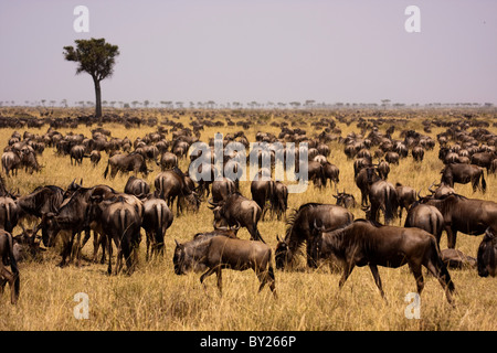 Kenya, Masai Mara.  Wildebeest congregate in their thousands during the migration on the open grassy plains of the - Stock Photo