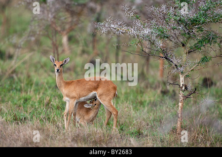 A young Oribi suckles its mother in the Lambwe Valley of  Ruma National Park. - Stock Photo