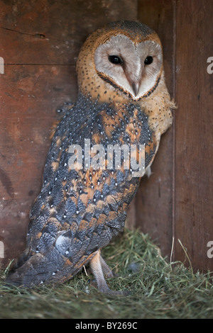 A young Barn Owl. - Stock Photo