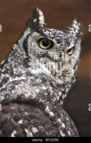 A spotted Eagle-Owl, a heavily-built owl with prominent ear tufts. - Stock Photo