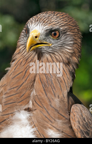 A juvenile African Harrier-Hawk, also known as a Gymnogene. - Stock Photo