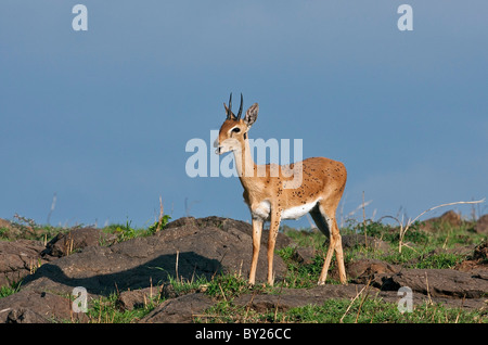 An Oribi covered in flies lets out a whistling call in Masai-Mara National Reserve. - Stock Photo