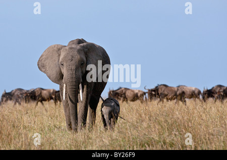 An elephant and her very small calf with a herd of wildebeest in the background. - Stock Photo