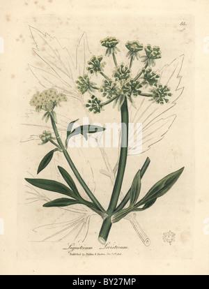 Yellow flowered lovage, Ligusticum levisticum. - Stock Photo