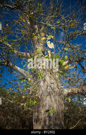 Old sweet chestnut tree against a blue sky - Stock Photo