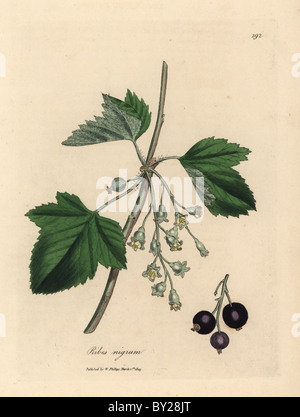Blackcurrant tree, Ribes nigrum, with flowers, fruit and leaves. - Stock Photo