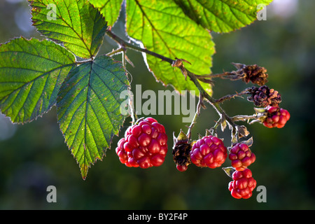 Berries and leaves of blackberry (Rubus fruticosus), Belgium - Stock Photo