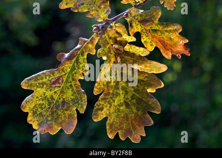 Pedunculate Oak / English oak (Quercus robur) leaves in autumn, Belgium - Stock Photo