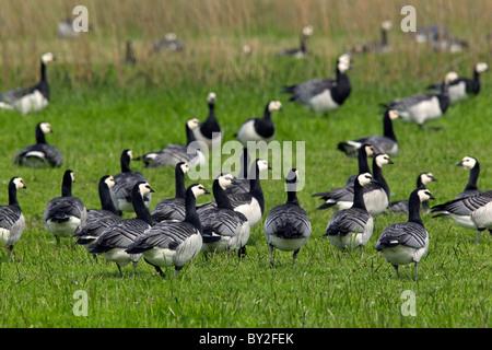 Barnacle Geese (Branta leucopsis) flock foraging in field, Germany - Stock Photo
