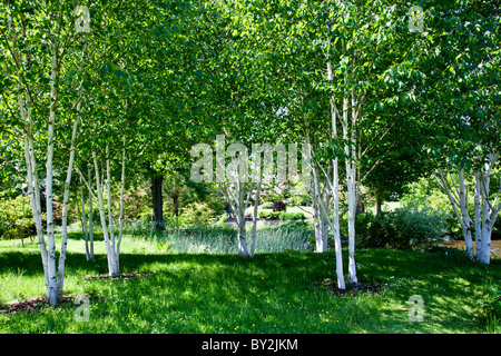 Copse of silver birch trees betula pendula in springtime for Silver birch trees for small gardens