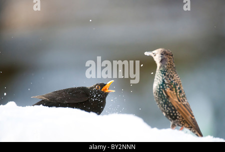 starling and blackbird fighting in the snow - Stock Photo