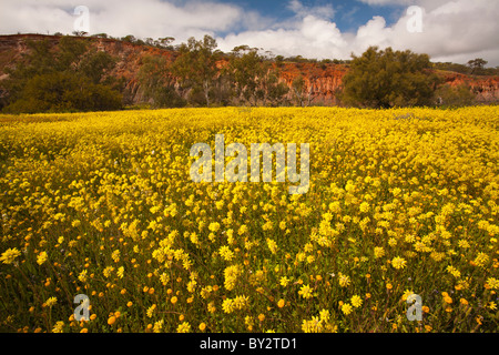 Carpet of yellow wildflowers in Coalseam Conservation Park, Mullewa, Western Australia - Stock Photo
